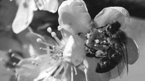 Equipan abejas con microchips para averiguar por qué desaparecen