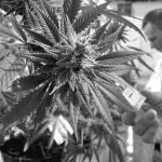Diputados dio media sanción a la ley de cannabis medicinal