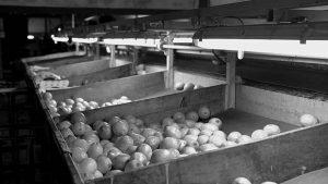 Alternativas ecológicas al uso de agroquímicos en la cosecha del limón en Tucumán