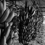 Las claves detrás del conflicto bananero argentino