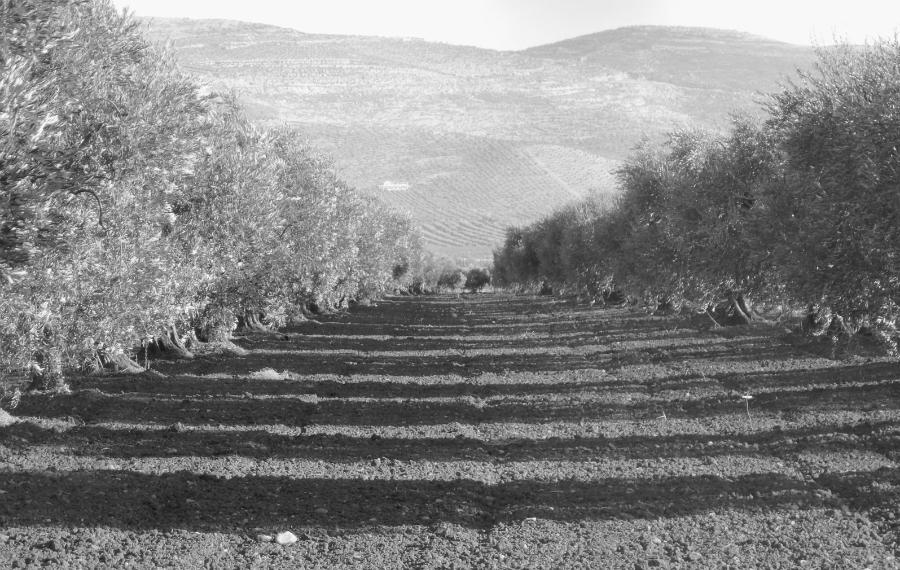 Afrin campos cultivo olivos la-tinta