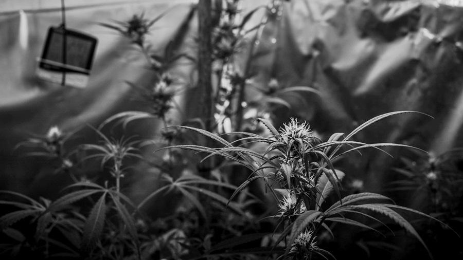 Marihuana-autocultivo-medicinal