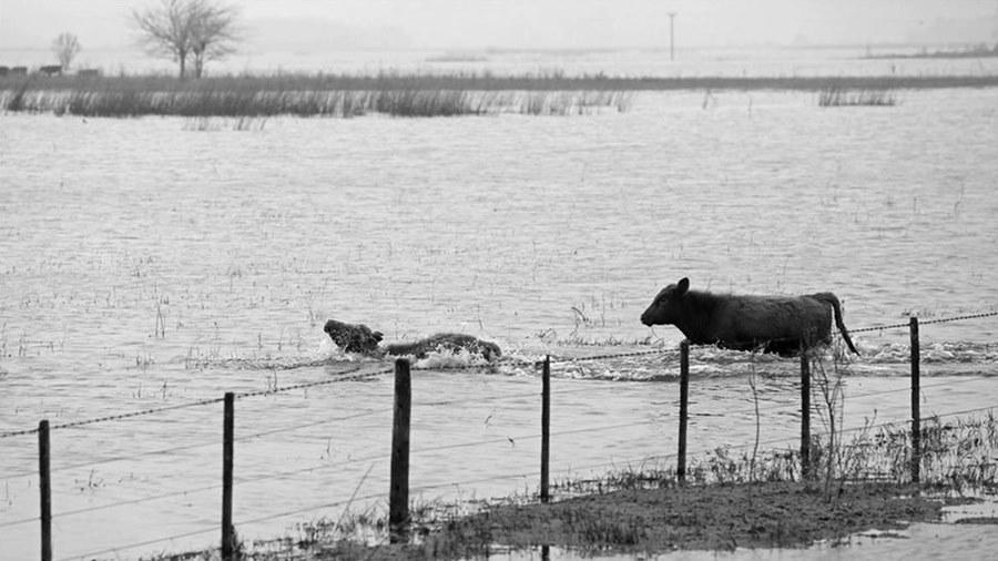 inundaciones-vacas-soja-argentina