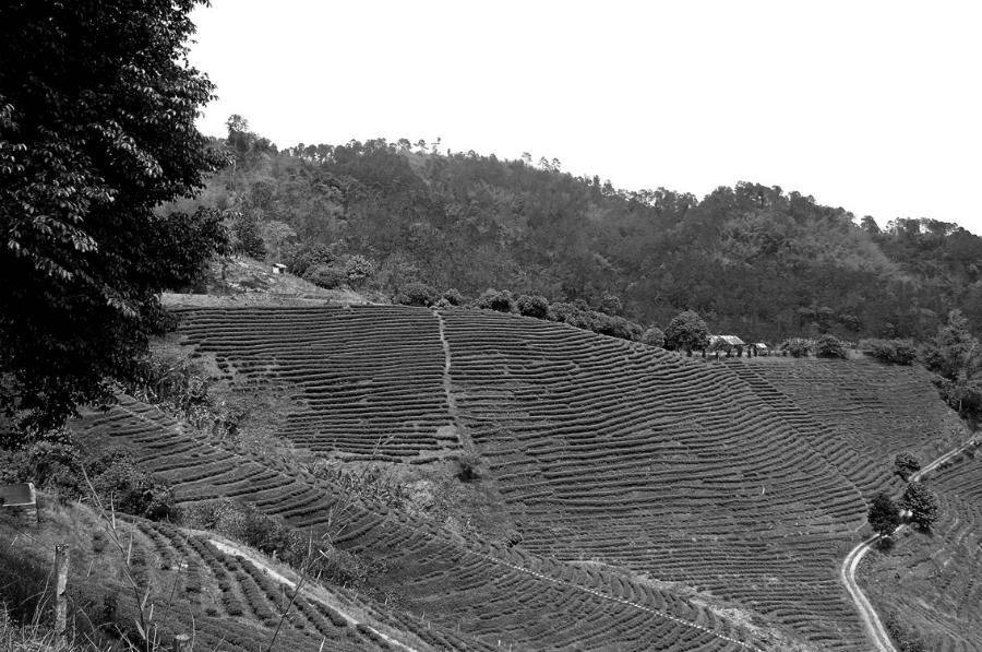 Tailandia Mao Salong plantaciones de te la-tinta