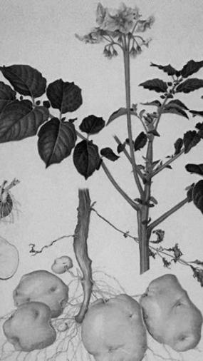 plantas-papa