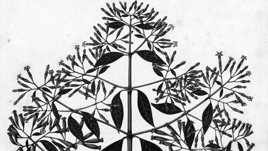 plantas-quina