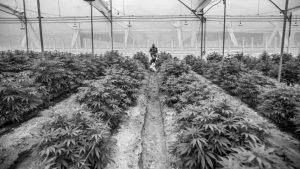 Cultivo comunitario de cannabis en el valle de Calamuchita