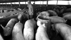 """Soledad Barruti: el acuerdo para exportar cerdos a China es """"un caldo de cultivo de posibles pandemias"""""""