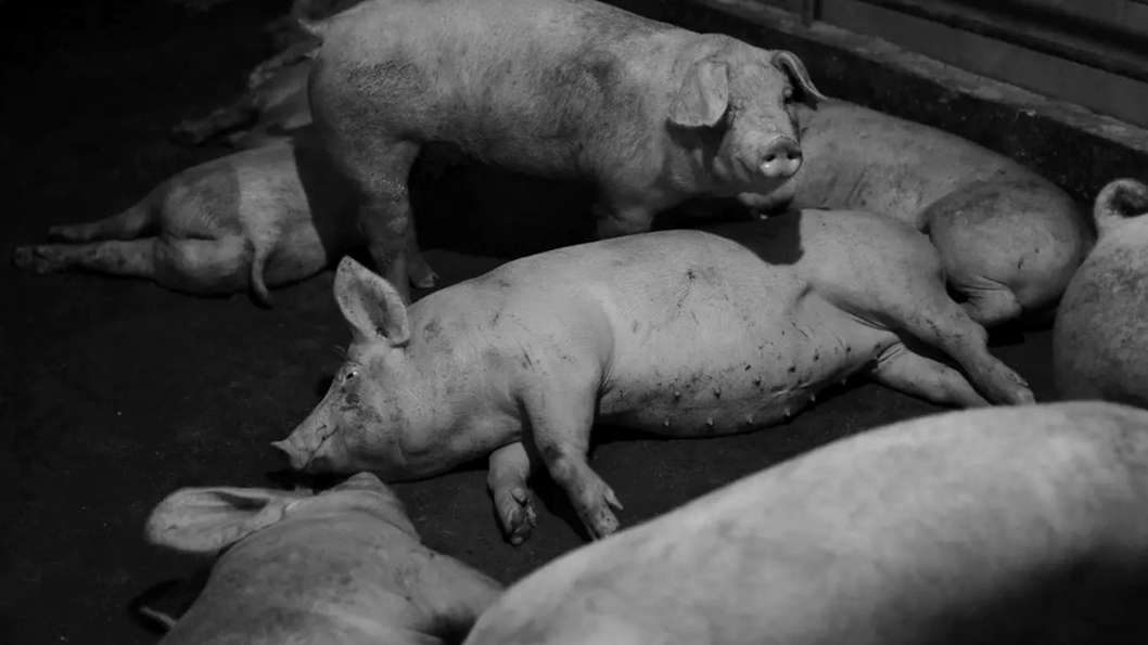 agronegocio-animal-antibiotico-cerdo-matadero-china-3