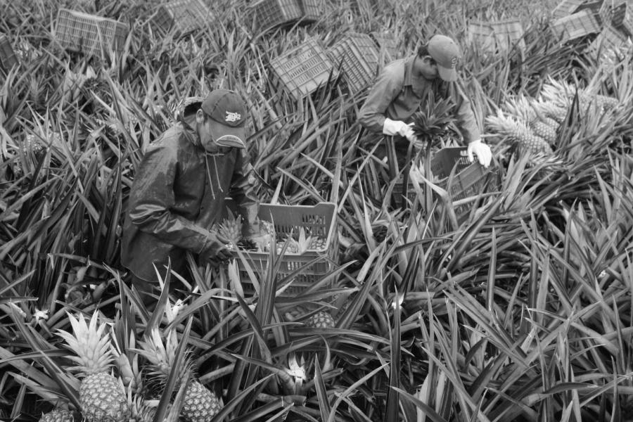 costa rica campo de piña explotacion la-tinta