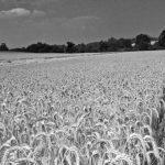Ingenieros del INTA demostraron que el trigo agroecológico es más económico que el convencional