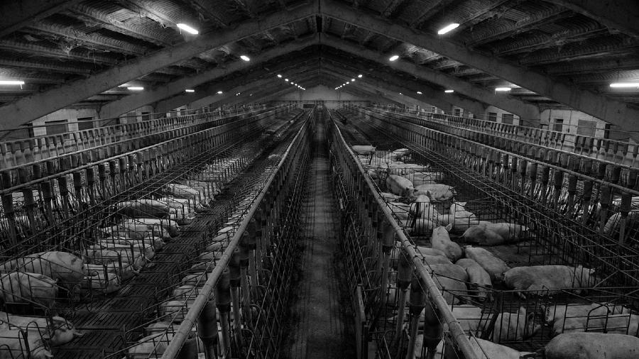España Factoria granjas de cerdos la-tinta