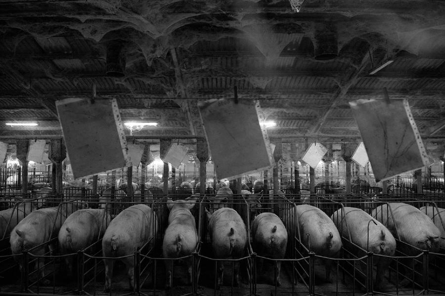 España granjas de cerdos Factoria la-tinta