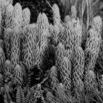 Comprueban el poder afrodisíaco de plantas autóctonas