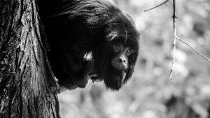 La pandemia y los incendios golpean a la reserva de monos carayá de La Cumbre