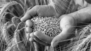 República Transgentina hasta en el pan: aprobaron el trigo transgénico, pero hay dudas sobre si logrará ser impuesto