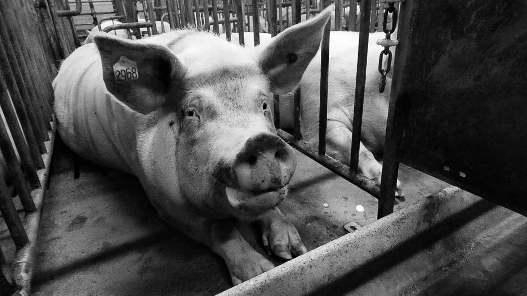 megafactoria-porcina-cerdos