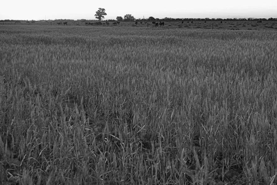 Campo-trigo-alimentación