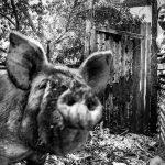 Una alternativa sustentable al acuerdo porcino