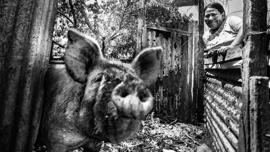 cerdos-alternativa-sustentable-china-agricultura-familiar-cooperativa-campesina