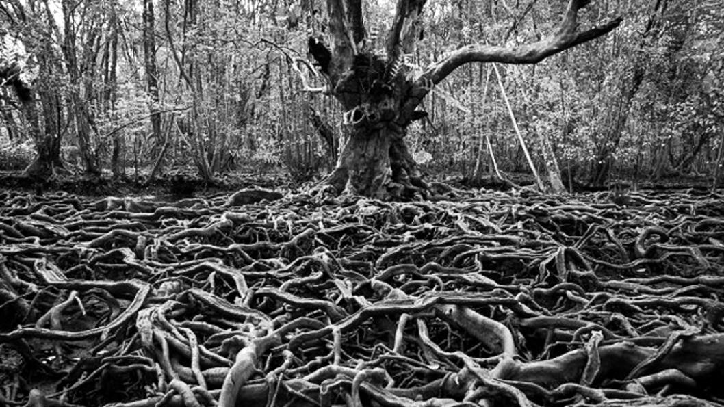 arraigar-raíces-árbol