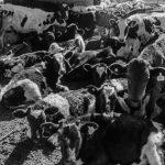 Agrupaciones proteccionistas lograron rescatar a 83 terneros abandonados