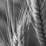 Trigo transgénico: un no rotundo a otro veneno más en el pan nuestro de cada día