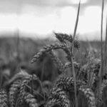 """Avanza la campaña """"¡Con nuestro pan no!"""", que rechaza el uso del trigo transgénico HB4"""