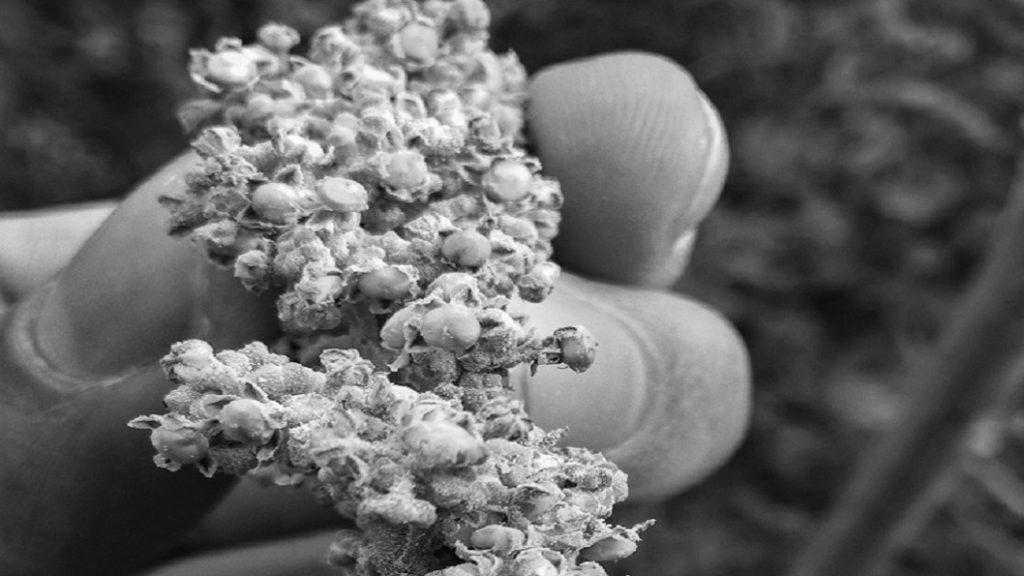 plantas-semillas-alimento-quinoa-alimentación