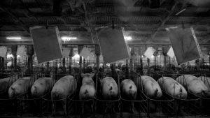 Acuerdo porcino con China: desmentida del Gobierno y organizaciones en alerta