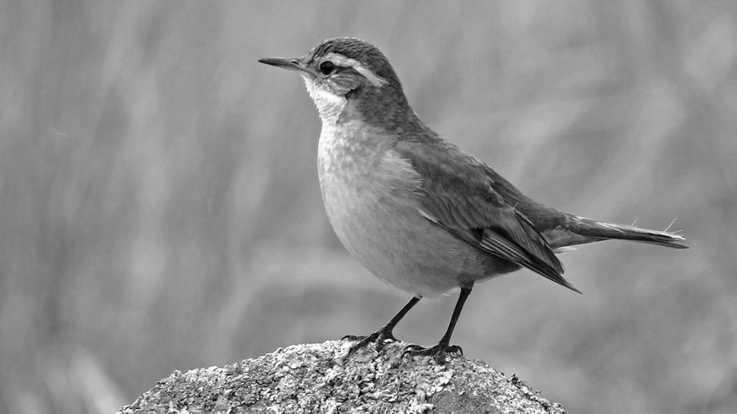 Pajaros-Avistaje-cambio-climático-aves-Remolinera-Serrana