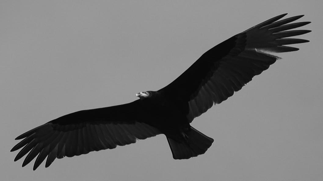 Pajaros-Avistaje-cambio-climático-aves-jote-cabeza-amarilla